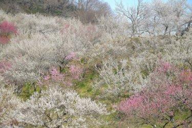 木下沢梅林 【裏高尾、春の絶景スポット】