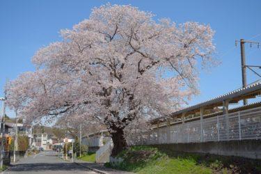 中村百年桜 ~地元に愛される巨桜~